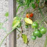 6 Varietas Baru Tomat Ceri