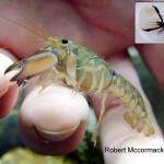 Spesies Baru Lobster Air Tawar