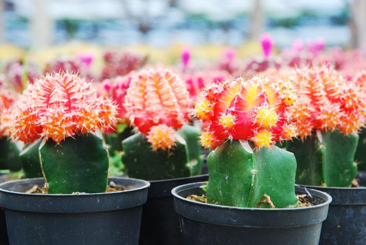 kaktus-3