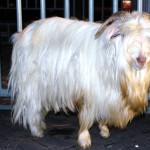Lipsus (6) : Kambing Gembrong Bak Anjing