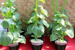 mikoriza3