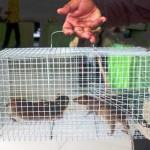 Perangkap Tikus Ampuh