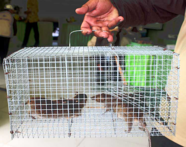perangkap-tikus
