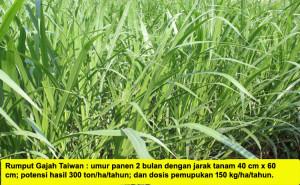 rumput-gajah1