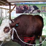 Lipsus (8) : Sapi Jantan Unggul di PENAS XIV KTNA 2014