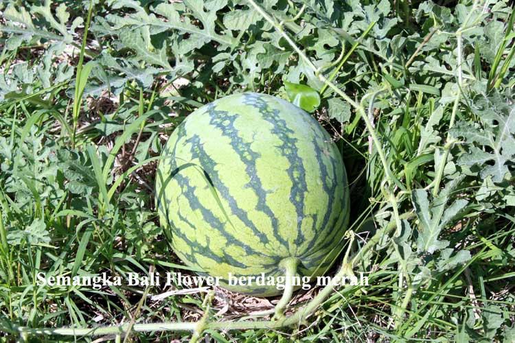 semangka-2