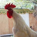 Ayam Balenggek Penyanyi Dari Solok
