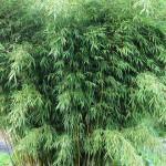 Asam Urat? Minum Rebusan Daun Bambu