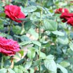 Bunga Mawar Potong Segar 4 Hari