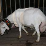 Timur Indonesia Pilih Domba Ekor Gemuk