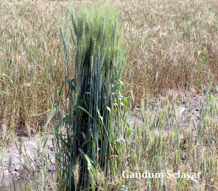 gandum-selayar