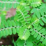 5 Herbal Pendongkrak Imunitas Tubuh