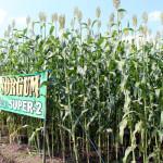 2 Sorgum Super Untuk Bioetanol