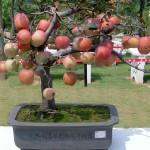 Tanam Bonsai Apel