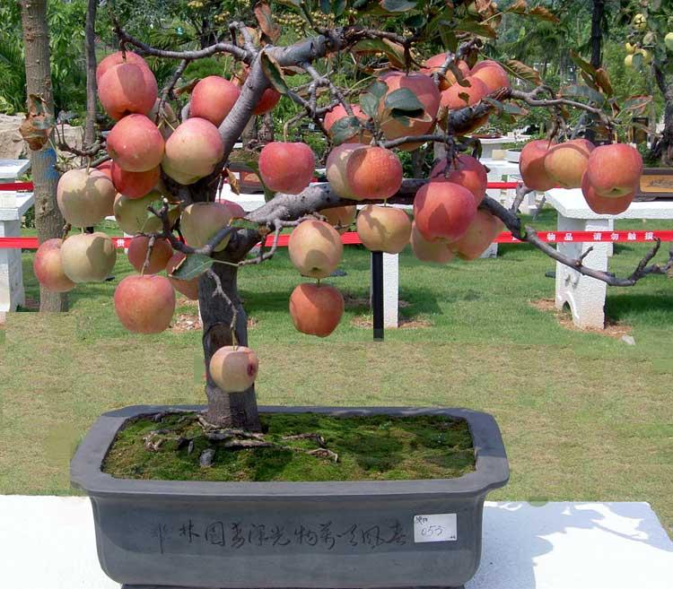 bonsai-apel