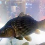 Indonesia Aquaculture 2014 (2): Ikan Mas Tahan Penyakit