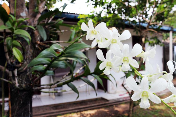 anggrek-phalaenopsis-1