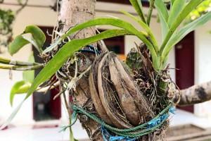 anggrek-phalaenopsis2