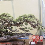 Bonsai & Suiseki Exhibition 2014 (1)