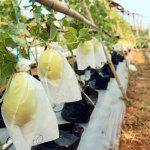 Panen Melon Hidroponik Sistem Irigasi Tetes