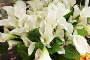 anthurium-bunga1