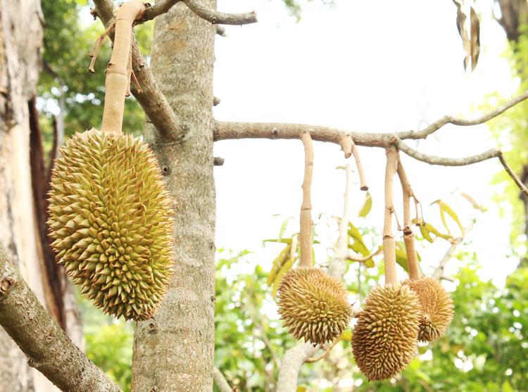 tabulampot-durian-monthong1