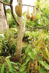 tabulampot-durian-monthong3