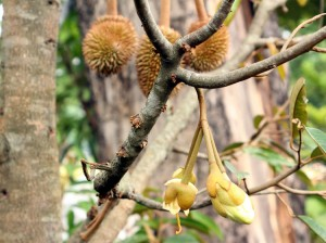 tabulampot-durian-monthong4