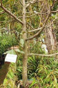 tabulampot-durian-monthong5