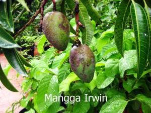 Di lahan, produktivitas mangga irwin mencapai 35 kg/pohon/tahun saat berumur 5 tahun.