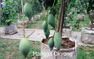 mangga4