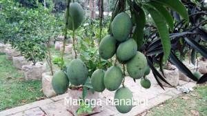 mangga5