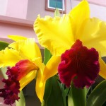 Teknik Stres Bungakan Anggrek Cattleya