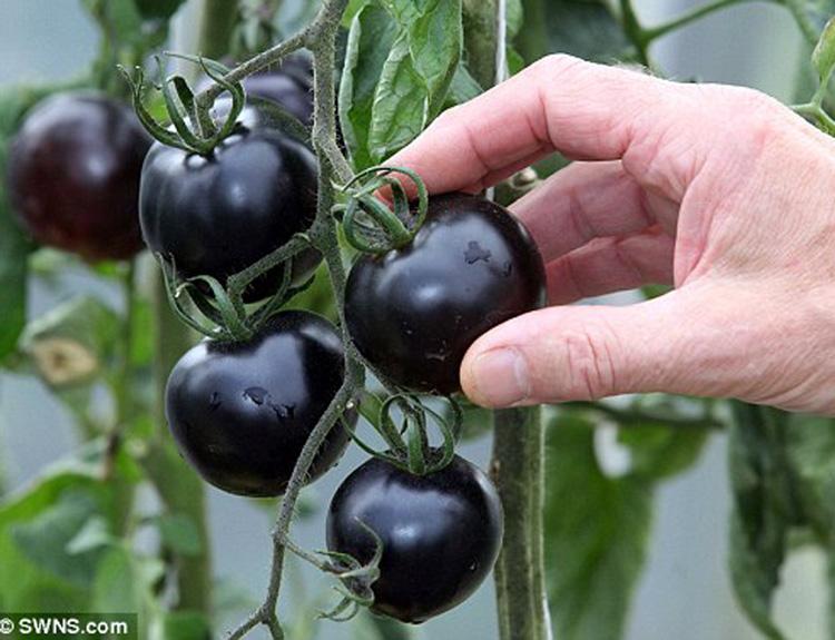 tomat-ceri-hitam1