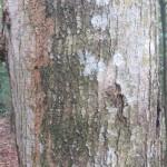 Eucalyptus Pereda Insomnia
