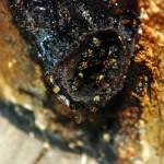 Budidaya Lebah Madu Klanceng (1)