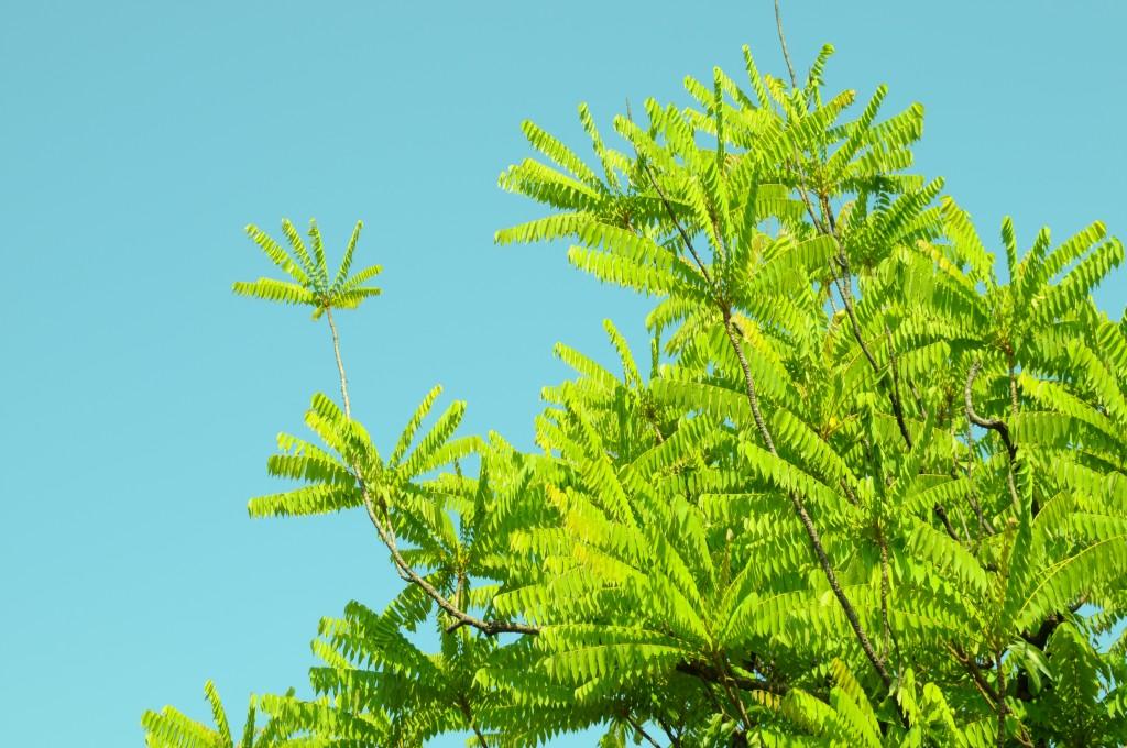 nca 03 2009 (2) belimbing wuluh
