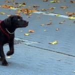 Cara Rawat Anjing Trah Besar