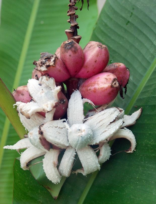 pisang-cungit1