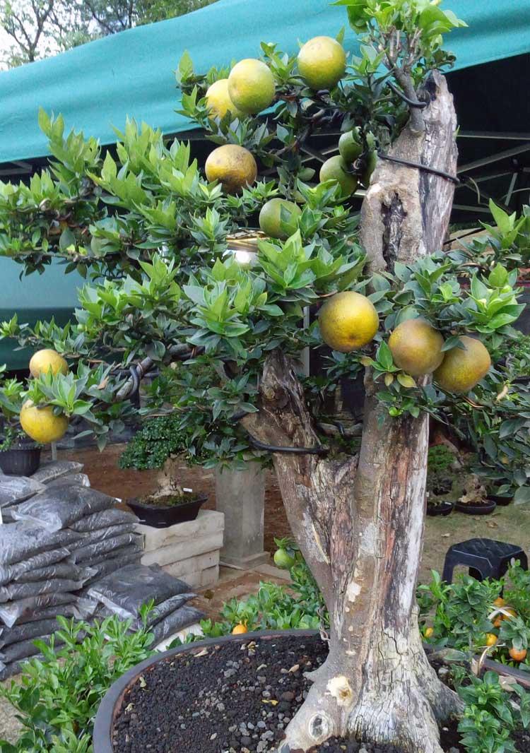 jeruk-brasil-bonsai1