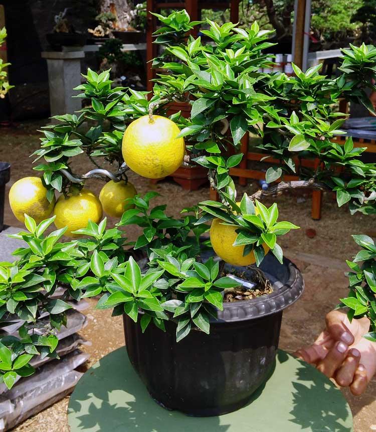 jeruk-brasil-bonsai2
