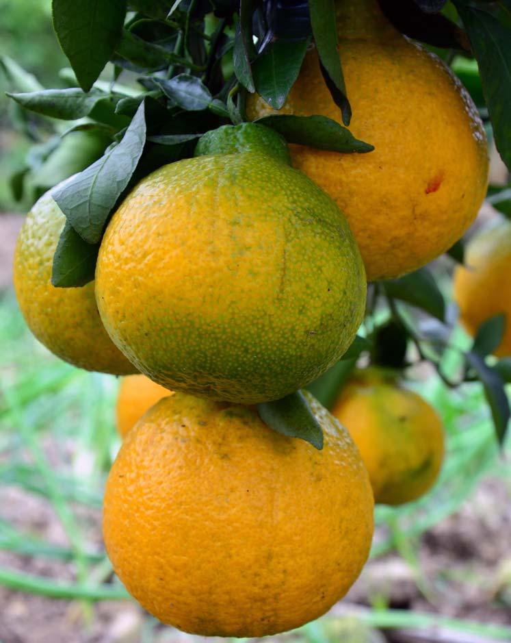 jeruk-dekopon