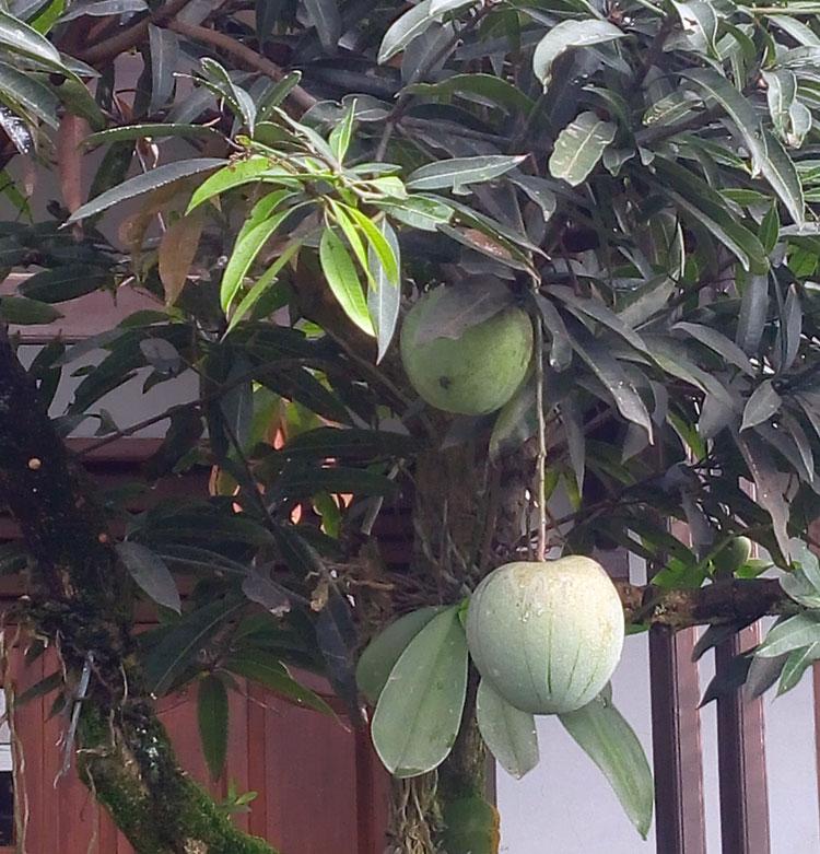 mangga-kelapa1