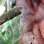 Belajar Dari Orangutan