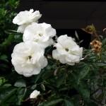 Bunga Mawar Penurun Panas Tubuh