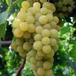 Anggur Unggul Dari Balitjestro