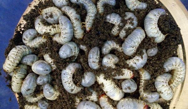 larva-kumbang