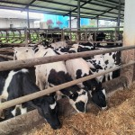 Calf Milk Replacer Induk Sapi