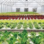 Kebun Organik Dan Hidroponik Di Kamboja