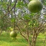 Ada Kebun Jeruk Bali Di Batam